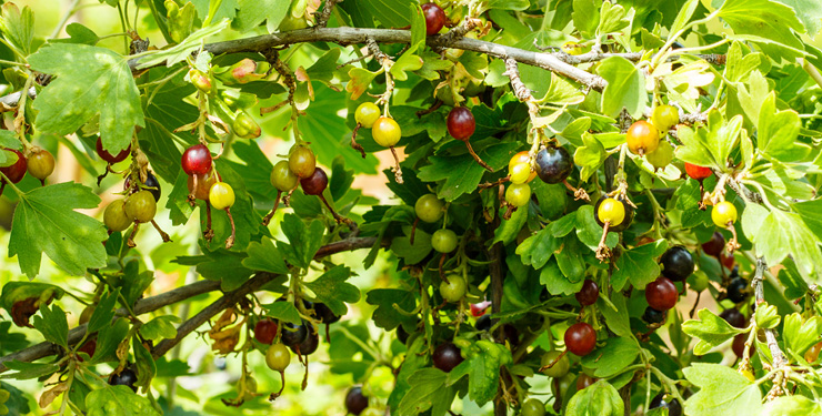 Can I grow gooseberries in Canada