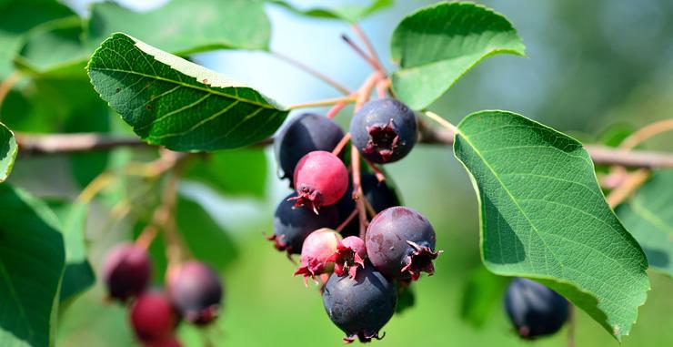 Plant Saskatoon Berries Canada